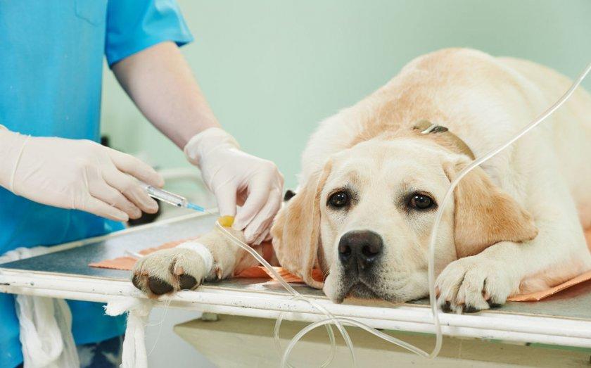 Коронавирус у собак - передается ли человеку и первые симптомы у животного