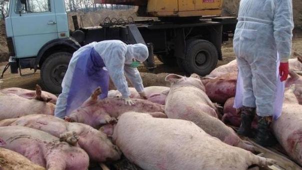 Африканская чума свиней в Самаре в 2020 году